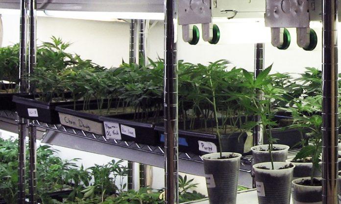Anzuchtraum mit jungen Cannabispflanzen