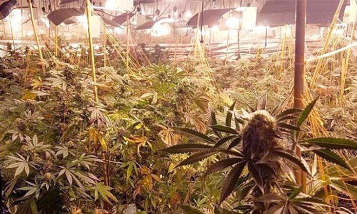 Cannabispflanzen im Anbau