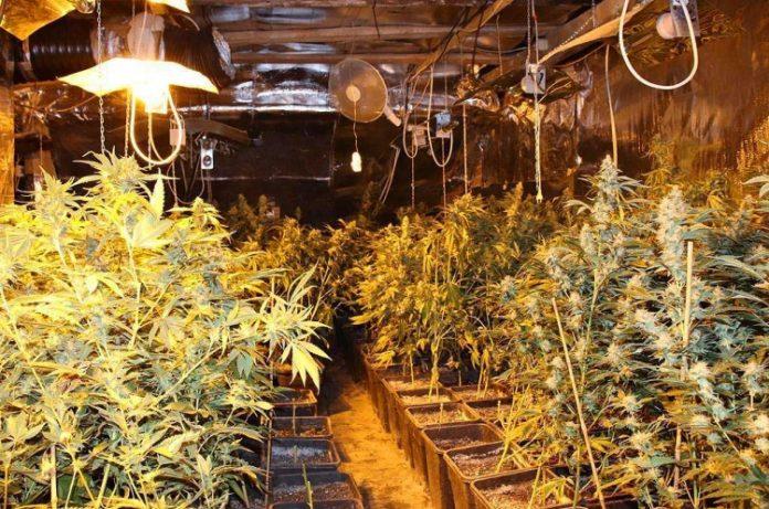 Illegaler Cannabis-Anbau, Polizeifoto