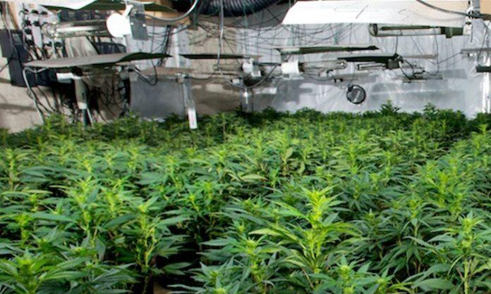 Cannabisanlage