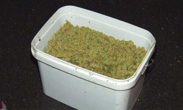 Eimer gefüllt mit Marihuana