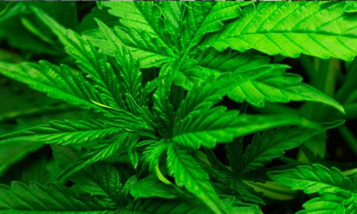 Cannabisblätter in der Nahaufnahme