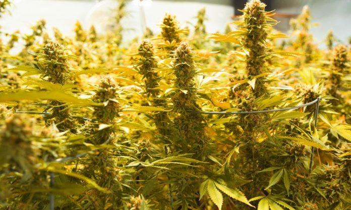Indoor-Cannabispflanzen