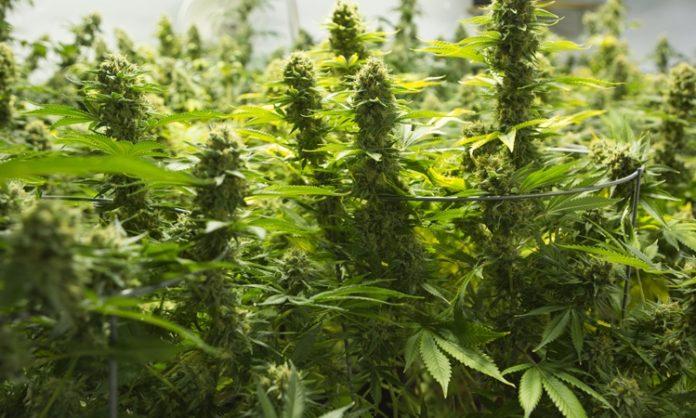 Cannabis-Pflanzen im Indoor-Grow