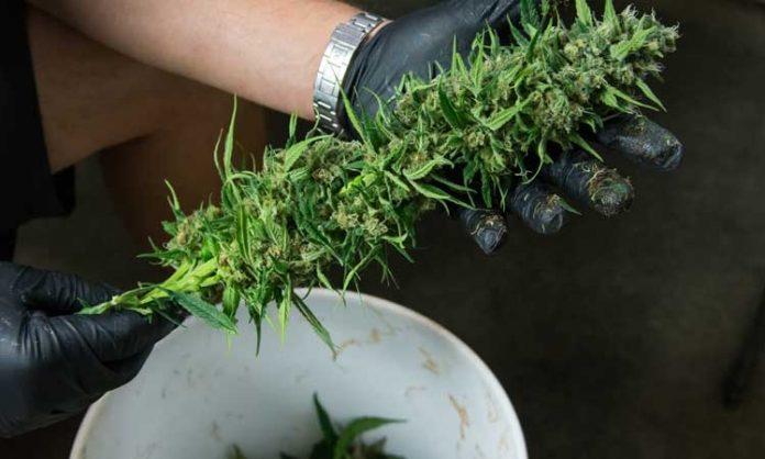 Ernte von Cannabis