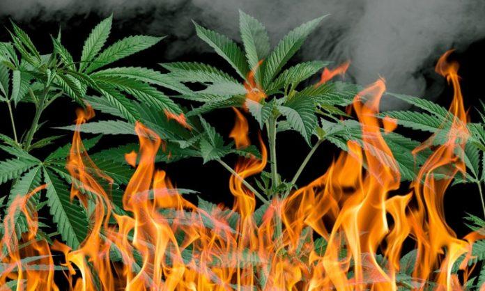 Cannabis steht in Flammen