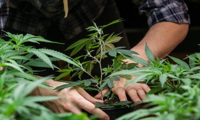 Ein Mann hält einen Blumentopf mit Cannabis-Steckling