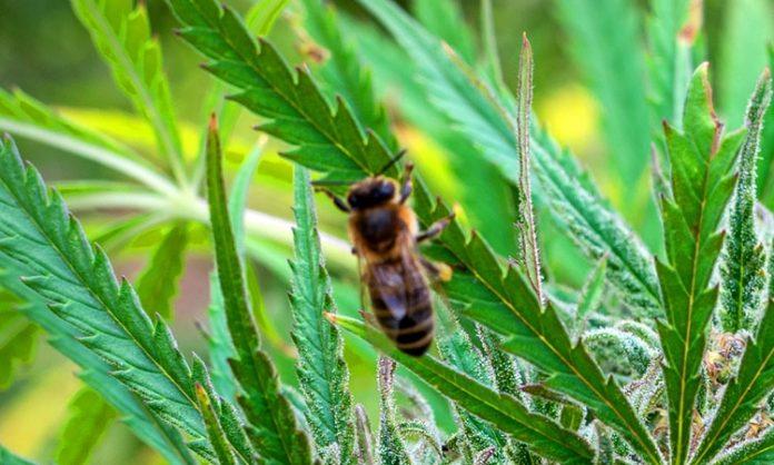 Eine Biene auf einem Hanfblatt