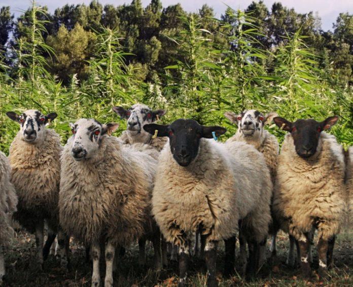 Fotomontage: Schafe stehen vor Cannabispflanzen