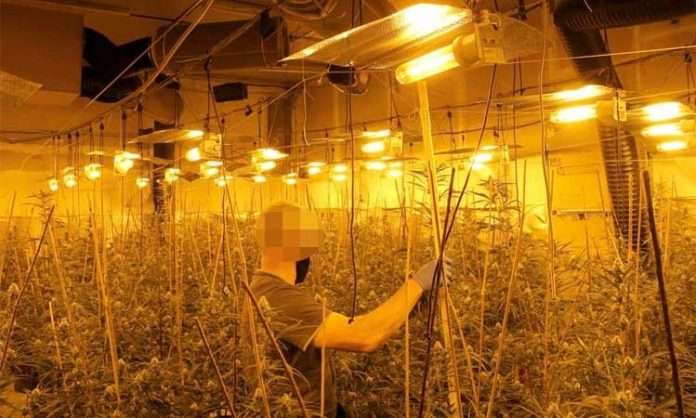Indoor-Cannabis-Anbau