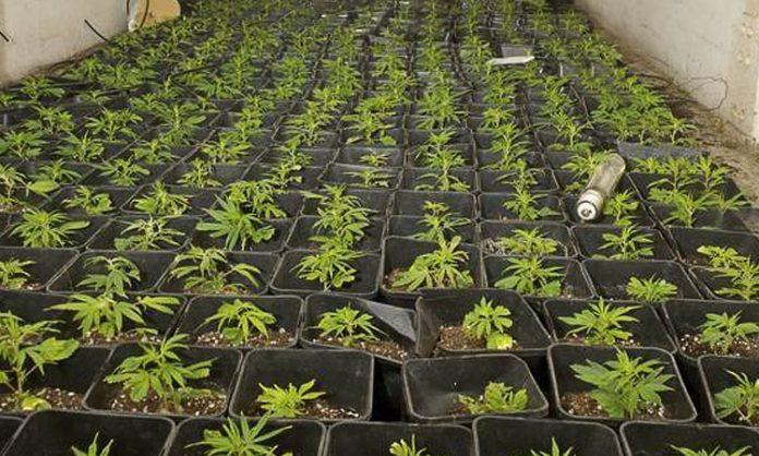 Junge Indoor-Cannabispflanzen