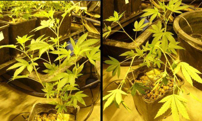 Cannabispflanze, Links: Vor dem Runterbinden, rechts: Runtergebunden