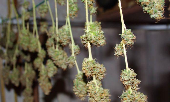 Zum Trocknen aufgehängte Cannabiszweige