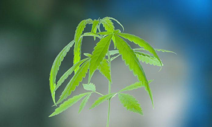 Junge Cannabispflanze