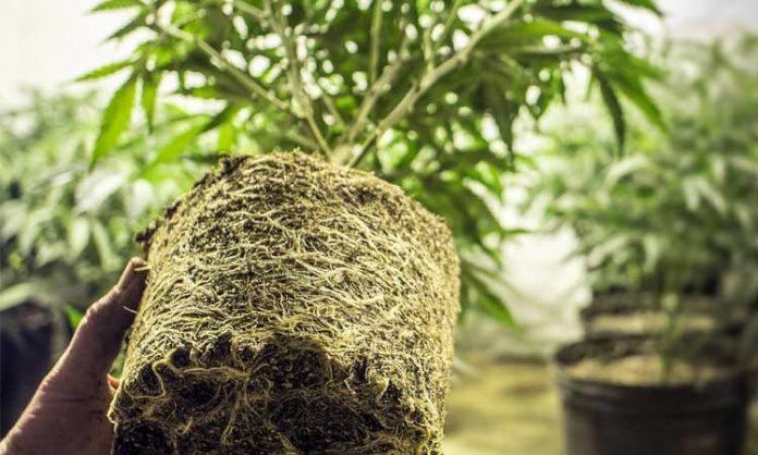 Stark durchwurzelte Cannabispflanze