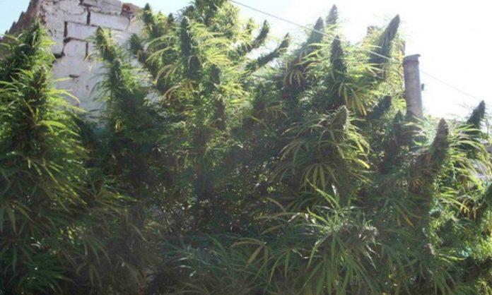 Riesige Outdoor-Cannabispflanzen vor einer Mauer
