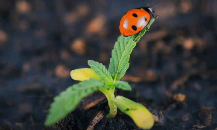Marienkäfer auf junger Cannabispflanze