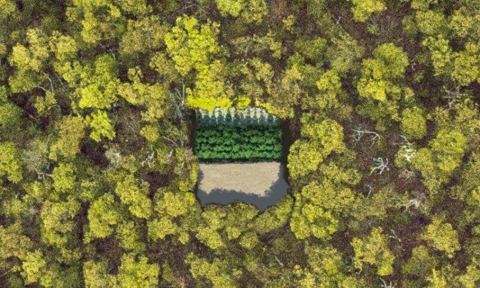 Eine versteckte Cannabisanpflanzung im Wald aus der Vogelperspektive