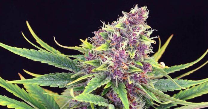 Pflanze der Sorte Purple Kush von Kannabia Seeds