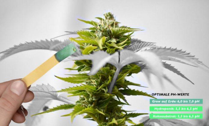 Cannabispflanze und pH-Wert-Teststreifen