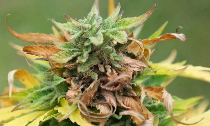 Outdoor-Cannabis mit Grauschimmelbefall