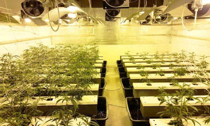 Illegale Cannabis-Anlage in Becklingen
