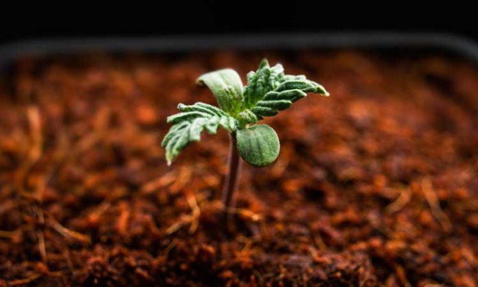 Kleine Cannabispflanze in Erde